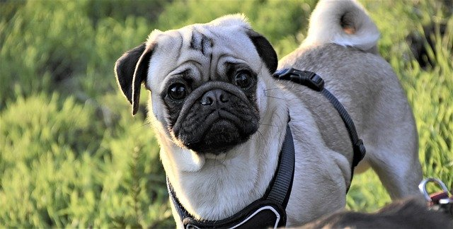 Major Differences Between A White Pugs And Albino Pug